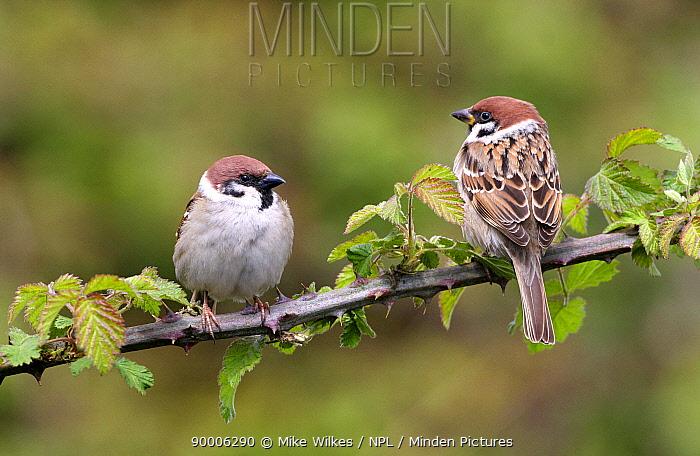 Eurasian Tree Sparrow (Passer montanus) perching on Bramble, Warwickshire, United Kingdom  -  Mike Wilkes/ npl