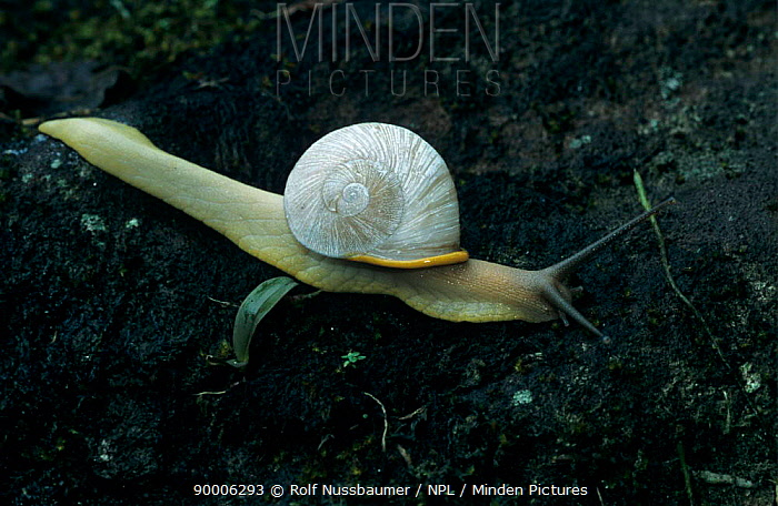 Land snail (Helicacea) El Yunque, Caribbean National Forest, Puerto Rico, USA  -  Rolf Nussbaumer/ npl