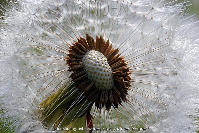 Dandelion (Taraxacum officinale) Seedhead or 'clock', Somerset, United Kingdom  -  John Waters/ npl