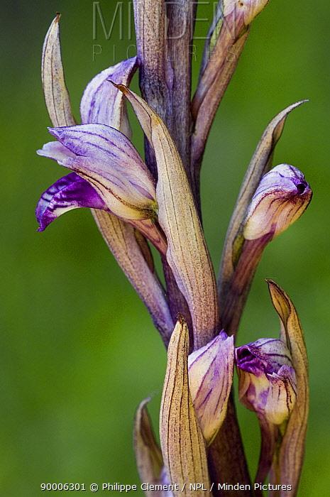 Violet birds'-nest orchid (Limodorum abortivum) La Brenne, France  -  Philippe Clement/ npl