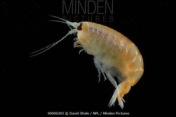 Amphipod (Anonyx sp) benthic, 2402m, Barents sea, Northern Europe  -  David Shale/ npl