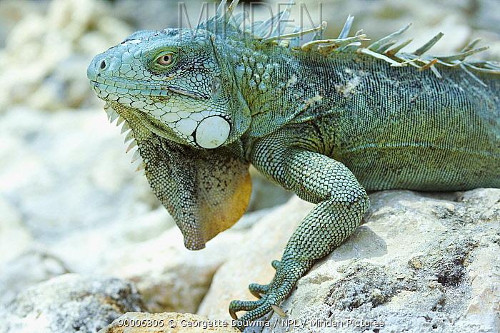 Green Iguana (Iguana iguana) Bonaire, Netherlands Antilles, Caribbean  -  Georgette Douwma/ npl