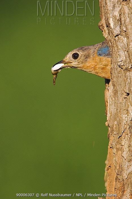 Eastern Bluebird (Sialia sialis) female leaving nest hole with faecal sac, Rio Grande Valley, Texas  -  Rolf Nussbaumer/ npl