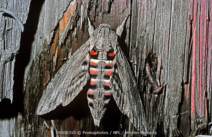 Convolvulus Hawk-moth (Agrius convolvuli) with wings open to show warning colours when disturbed, Switzerland  -  Premaphotos/ npl