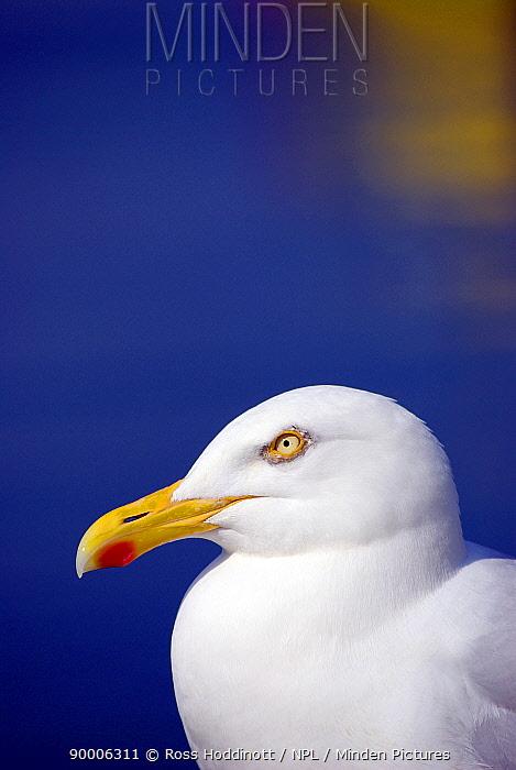Herring Gull (Larus argentatus), Cornwall United Kingdom  -  Ross Hoddinott/ npl
