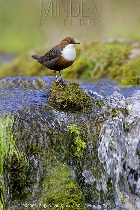 White-throated Dipper (Cinclus cinclus) perching on mossy rock at the top of a small waterfall, Derbyshire, England  -  David Kjaer/ npl