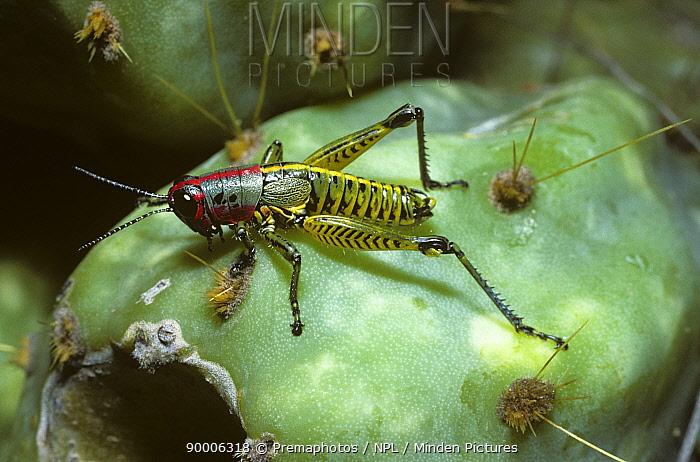 Grasshopper (Perixerus laevis) warningly coloured on a cactus fruit in desert, Mexico  -  Premaphotos/ npl