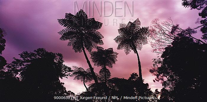 Silhouette of Tree ferns against the sky, Daintree Rainforest, North Queensland, Australia  -  Jurgen Freund/ npl