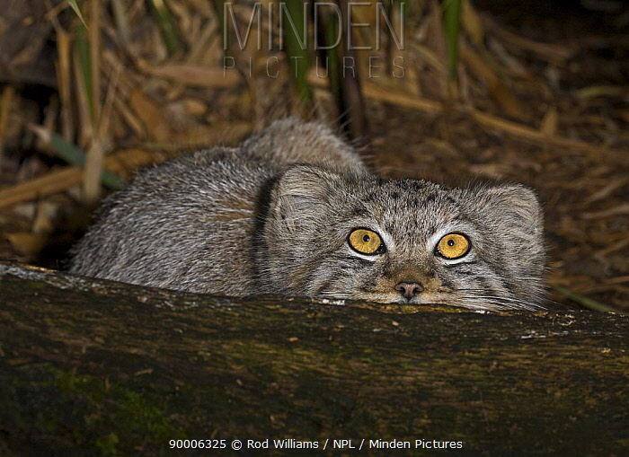 Young Pallas's Cat (Felis, Otocolobus manul) looking up, captive from Iran to Western China  -  Rod Williams/ npl