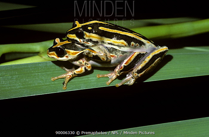 Painted Reed Frog (Hyperolius marmoratus) pair in amplexus at night, South Africa  -  Premaphotos/ npl