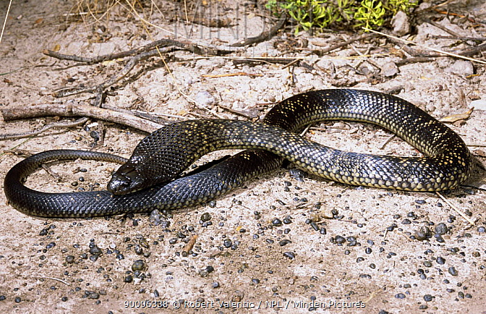 Spotted black snake (Pseudechis guttatus) male inflating its body and expanding its hood in threat display, Queensland, Australia  -  Robert Valentic/ npl