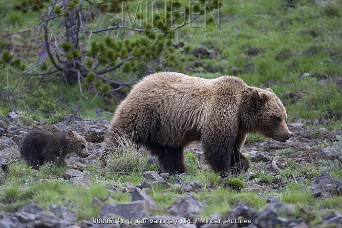 Grizzly Bear (Ursus arctos horribilis) sow with cub, Spring, Mount Washburn, Yellowstone National Park, Wyoming  -  Jeff Vanuga/ npl