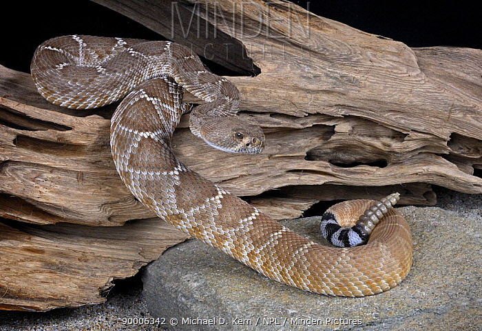 Red Rattlesnake (Crotalus ruber) captive, from NW central america  -  Michael D. Kern/ npl