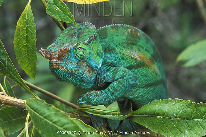 Parson's Chameleon (Chamaeleo parsonii) male, tropical rainforest, Andasibe Mantadia National Park, Madagascar  -  Jouan & Rius/ npl