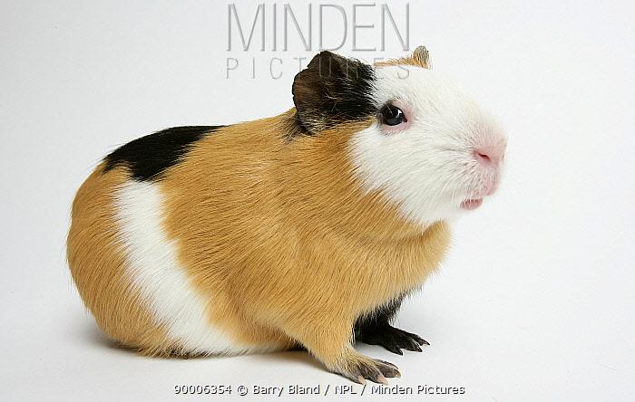 Guinea Pig (Cavia porcellus)Domestic Guinea Pig, black and tan and white  -  Barry Bland/ npl