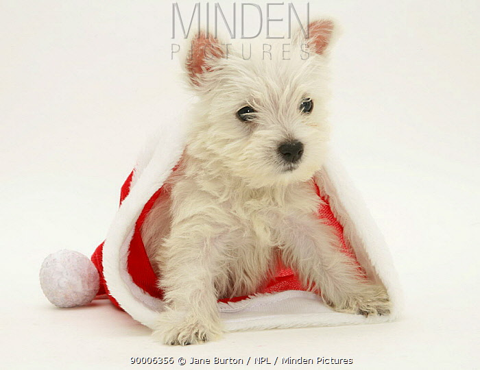 West Highland White Terrier puppy in a Father Christmas hat  -  Jane Burton/ npl