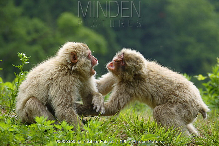 Japanese Macaque (Macaca fuscata) young males play fighting, Jigokudani, Nagano, Japan  -  Yukihiro Fukuda/ npl