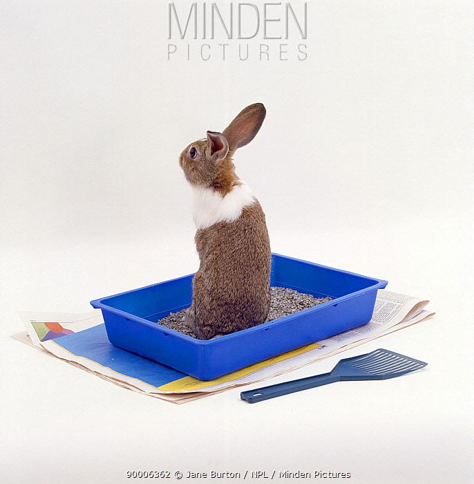 Agouti dutch rabbit sitting up in litter tray with cat litter  -  Jane Burton/ npl