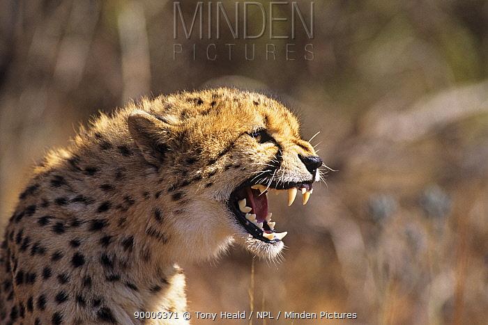 Cheetah (Acinonyx jubatus) snarling, South Africa DeWildt Cheetah Research Centre  -  Tony Heald/ npl