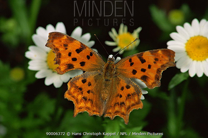 Comma (Polygonia c-album) on flower heads, Germany  -  Hans Christoph Kappel/ npl