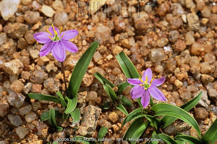 Desert lilies in flower in rainy season, Namib desert, Namibia  -  Martin Gabriel/ npl