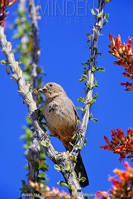 Canyon Towhee (Pipilo fuscus) Arizona  -  David Kjaer/ npl