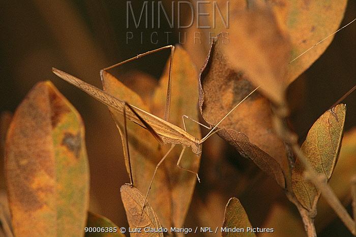 Katydid (Phaneroptera sp) camouflaged on leaves, Eams NP, Brazil  -  Luiz Claudio Marigo/ npl