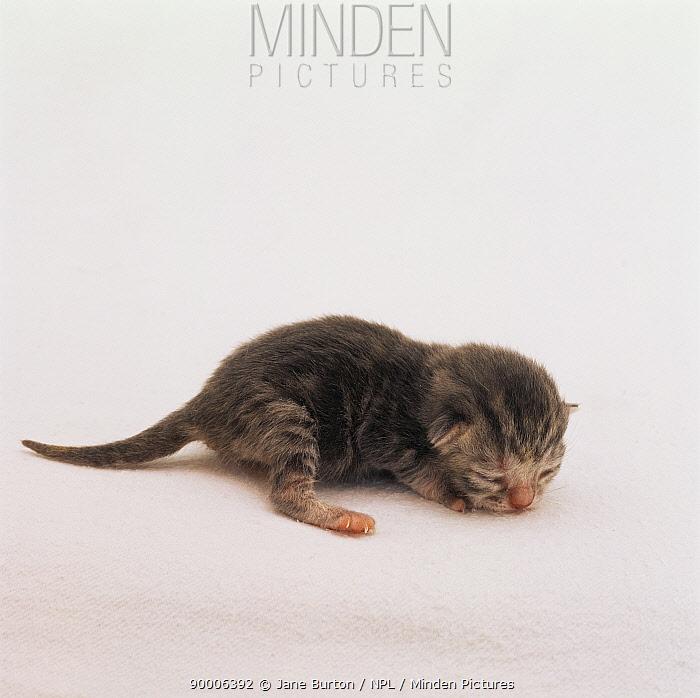 Domestic Cat (Felis catus) 1-day-old kitten with eyes shut  -  Jane Burton/ npl