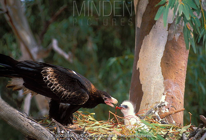 Wedge-tailed Eagle (Aquila audax) adult feeding chick at nest, New South Wales, Australia  -  Dave Watts/ npl