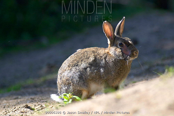 European Rabbit (Oryctolagus cuniculus) scarred by myxamatosis infection, United Kingdom  -  Jason Smalley/ npl