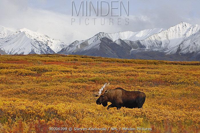 Moose (Alces americanus) bull Denali National Park, Alaska  -  Steven Kazlowski/ npl