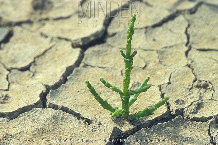 Common Glasswort (Salicornia europaea) growing in cracked dry mud, Belgium  -  Philippe Clement/ npl