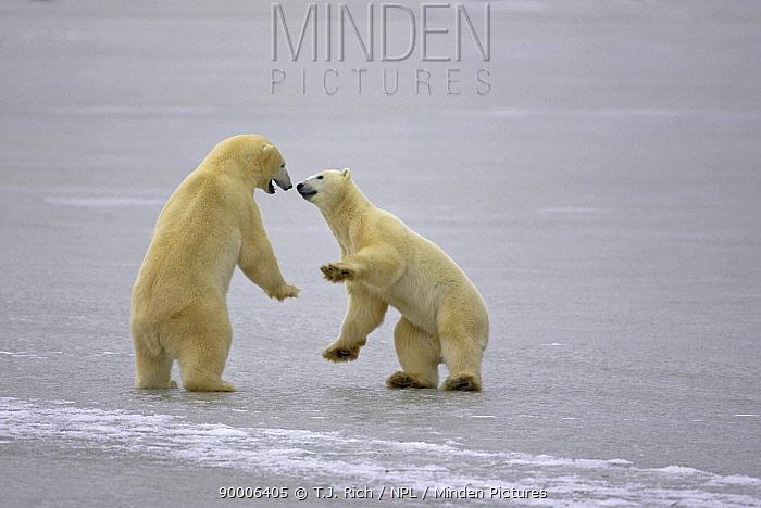 Polar Bear (Ursus maritimus) play-fighting, Cape Churchill, Canada  -  T.J. Rich/ npl