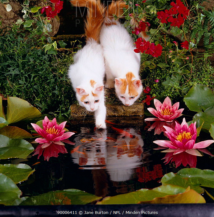 Domestic Cat (Felis catus), two Turkish van kittens watch and try to catch goldfish in garden pond  -  Jane Burton/ npl