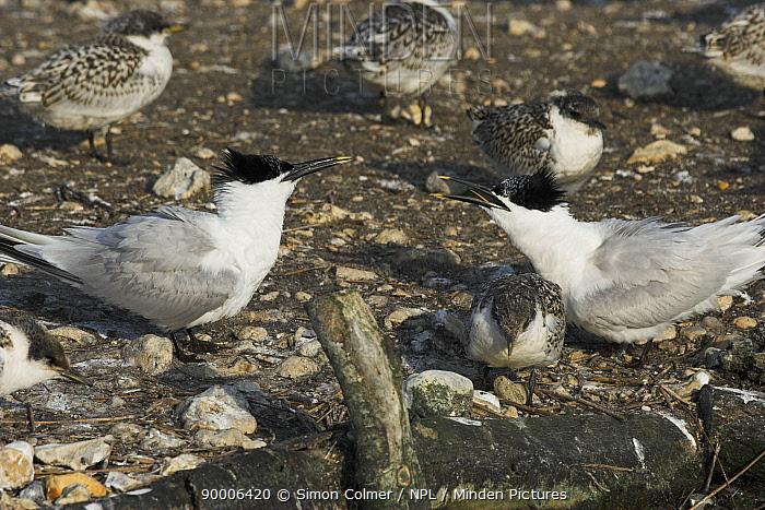 Sandwich tern (Sterna, Thalasseus sandvicensis) adult defending young chick, Brownsea Island, Dorset, UK  -  Simon Colmer/ npl