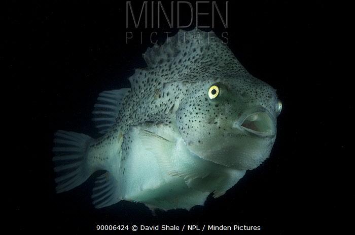 Lumpfish (Cyclopterus lumpus) deepsea, 2392m, Barents sea, Northern Europe  -  David Shale/ npl