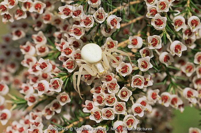 Crab Spider (Thomisidae) on Heather flowers (Erica arborea), Italy  -  Elio Della Ferrera/ npl