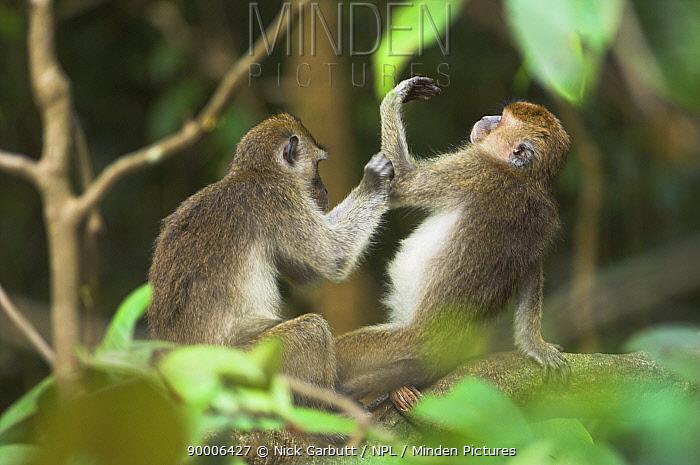Long-tailed Macaque (Macaca fascicularis) grooming, Kinabatangan River, Sabah, Borneo, Malaysia  -  Nick Garbutt/ npl