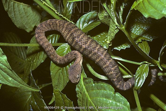 Green, African bush viper (Atheris squamiger) Kakamega Forest, Kenya  -  Premaphotos/ npl
