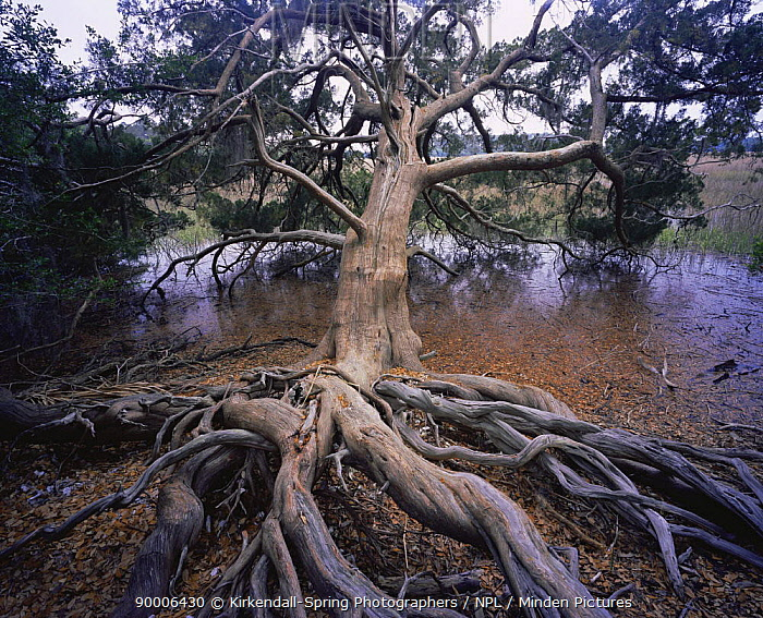 Cedar Tree (Cedrus sp) with exposed roots growing next to a marsh, Skidaway Island State Park, Georgia, USA  -  Kirkendall-spring/ npl