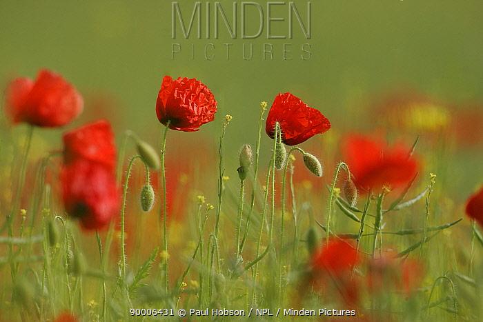 Poppies (Papaver genus) flowering in rape field, Derbyshire, UK  -  Paul Hobson/ npl
