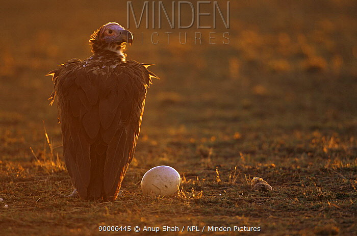 Lappet-faced Vulture (Torgos tracheliotus) with Ostrich egg at sunrise, East Africa  -  Anup Shah/ npl
