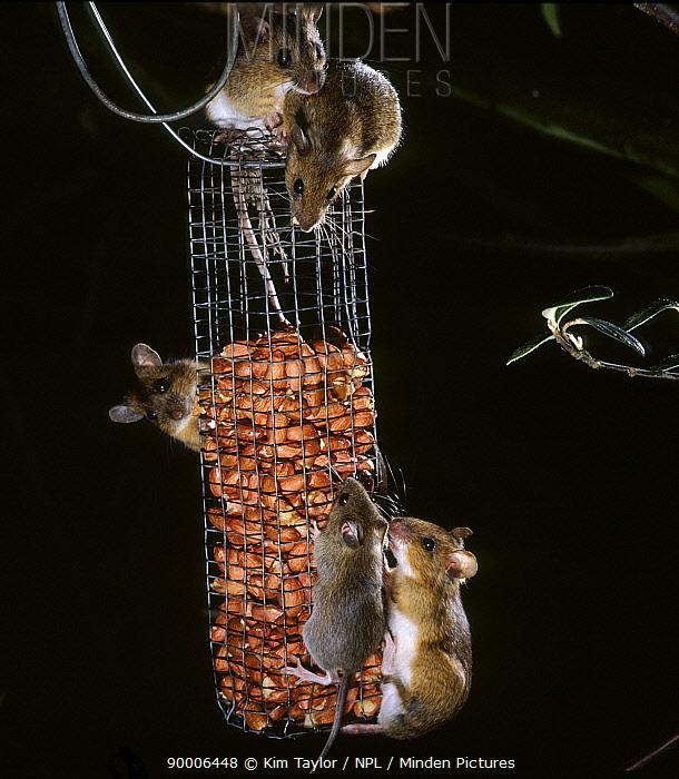 Yellow-necked Field Mouse (Apodemus flavicollis) feeding on peanut bird feeder at night, Surrey, United Kingdom  -  Kim Taylor/ npl