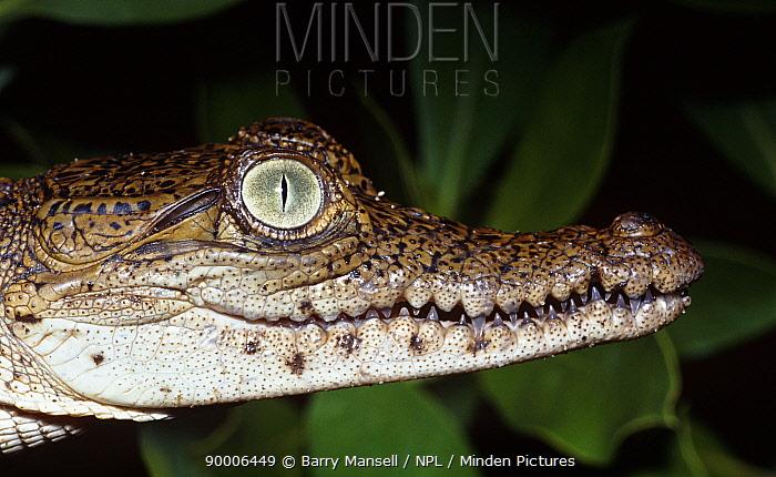 American Crocodile (Crocodylus acutus) head portrait, Crocodile Lake National Park, Key Largo, Florida  -  Barry Mansell/ npl