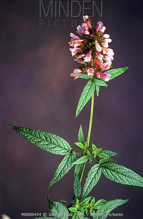 Cedronella plant (Cedronella canariensis) endemic, Tenerife, Canary Islands  -  Jose B. Ruiz/ npl