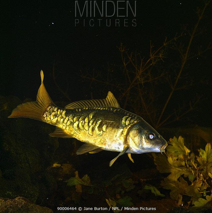 European Carp (Cyprinus carpio) active in very dim light, United Kingdom  -  Jane Burton/ npl