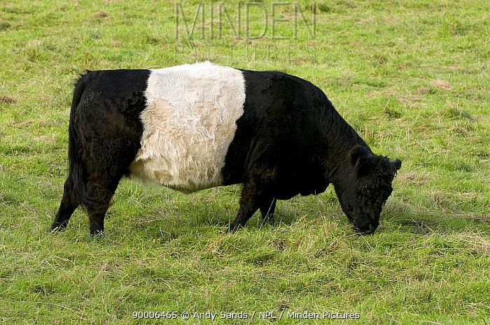 Belted Galloway (Bos taurus) Beef breed of cattle, grazing, Hertfordshire, England, UK  -  Andy Sands/ npl