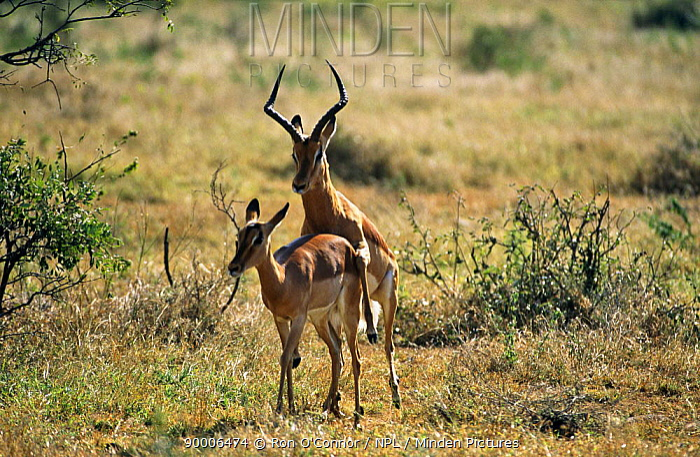 Impala (Aepyceros melampus) mating on savanna, Africa  -  Ron O'Connor/ npl