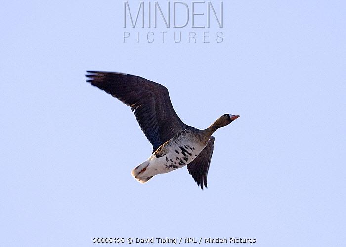 White-fronted Goose (Anser albifrons) in flight, Bulgaria  -  David Tipling/ npl