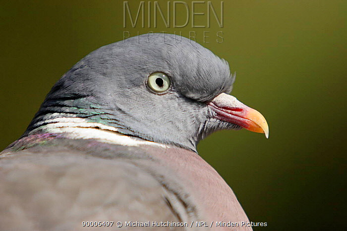 Common Wood-pigeon (Columba palumbus) portrait, United Kingdom  -  Michael Hutchinson/ npl